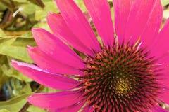 Ζωηρόχρωμη ρόδινη λεπτομέρεια λουλουδιών Echinacea Στοκ Εικόνες