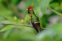 Ζωηρόχρωμη σχηματισμένη τούφες κολίβριο κοκέτα από τη συνεδρίαση του Τρινιδάδ στον πράσινο κλάδο στοκ εικόνα