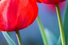 ζωηρόχρωμη τουλίπα λουλουδιών Στοκ Εικόνα