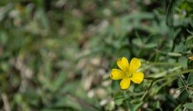 Ζωηρόχρωμη φωτογραφία του μικρού κίτρινου wildflower Στοκ Εικόνες