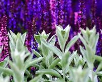 Ζωηρόχρωμη fraturing πορφύρα κήπων και πράσινος στοκ φωτογραφίες