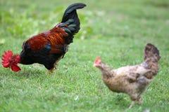 Ζωηρόχρωμοι κόκκορας και κότα σε ένα θολωμένο υπόβαθρο Στοκ Εικόνα