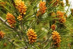 Ζωηρόχρωμοι κώνοι πεύκων που αυξάνονται σε ένα δέντρο πεύκων Στοκ φωτογραφία με δικαίωμα ελεύθερης χρήσης