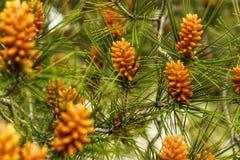 Ζωηρόχρωμοι κώνοι πεύκων που αυξάνονται σε ένα δέντρο πεύκων Στοκ Φωτογραφίες