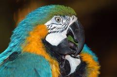 ζωηρόχρωμοι παπαγάλοι macaw στοκ εικόνα με δικαίωμα ελεύθερης χρήσης