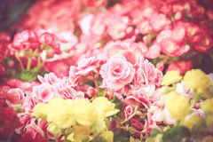 Ζωηρόχρωμος λίγο άνθος λουλουδιών στον κήπο με τον εκλεκτής ποιότητας αναδρομικό τόνο Στοκ Φωτογραφία