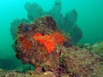 ζωηρόχρωμος ανεμιστήρας κοραλλιών Στοκ εικόνες με δικαίωμα ελεύθερης χρήσης