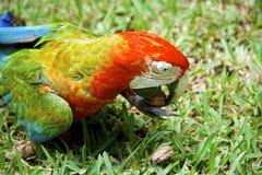 Ζωηρόχρωμος αφρικανικός παπαγάλος macaw Στοκ εικόνες με δικαίωμα ελεύθερης χρήσης