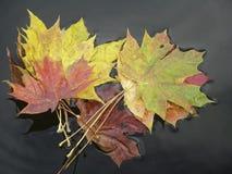 Ζωηρόχρωμος βγάζει φύλλα Στοκ εικόνα με δικαίωμα ελεύθερης χρήσης