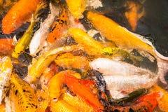 Ζωηρόχρωμος ιαπωνικός κυπρίνος ψαριών Koi Στοκ φωτογραφία με δικαίωμα ελεύθερης χρήσης