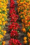 Ζωηρόχρωμος κήπος τουλιπών την άνοιξη Στοκ Εικόνες