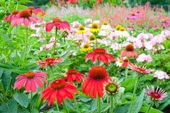 Ζωηρόχρωμος κήπος echinacea το καλοκαίρι Στοκ φωτογραφία με δικαίωμα ελεύθερης χρήσης