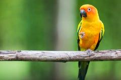 Ζωηρόχρωμος κίτρινος παπαγάλος, ήλιος Conure Στοκ Φωτογραφίες