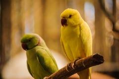 Ζωηρόχρωμος κίτρινος παπαγάλος, solstitialis Conure Aratinga ήλιων Στοκ Φωτογραφίες