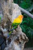 Ζωηρόχρωμος κίτρινος παπαγάλος, solstitialis Conure Aratinga ήλιων, standi Στοκ Φωτογραφίες