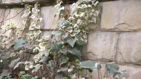 Ζωηρόχρωμος κισσός σε έναν τοίχο πετρών r απόθεμα βίντεο