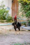 Ζωηρόχρωμος κόκκορας κοκκόρων ή πάλης στο αγρόκτημα Στοκ Φωτογραφίες