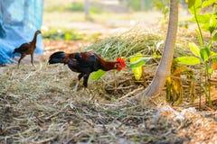 Ζωηρόχρωμος κόκκορας κοκκόρων ή πάλης στο αγρόκτημα Στοκ Εικόνες