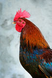 ζωηρόχρωμος κόκκορας Στοκ εικόνες με δικαίωμα ελεύθερης χρήσης
