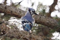 Ζωηρόχρωμος μπλε jay Στοκ εικόνα με δικαίωμα ελεύθερης χρήσης