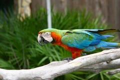 ζωηρόχρωμος παπαγάλος εικόνας Στοκ Εικόνες