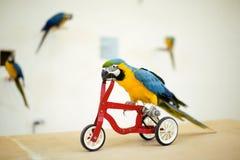 Ζωηρόχρωμος παπαγάλος που οδηγά στο ποδήλατο Στοκ φωτογραφία με δικαίωμα ελεύθερης χρήσης