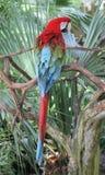 Ζωηρόχρωμος παπαγάλος που σκαρφαλώνει επάνω στο πολύβλαστο folliage της Φλώριδας Στοκ Εικόνες