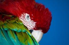 Ζωηρόχρωμος παπαγάλος Ara Στοκ Εικόνες