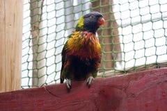 Ζωηρόχρωμος παπαγάλος Lories πουλιών Στοκ φωτογραφίες με δικαίωμα ελεύθερης χρήσης