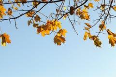 ζωηρόχρωμος σφένδαμνος φύ&lam Στοκ φωτογραφίες με δικαίωμα ελεύθερης χρήσης