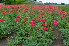 Ζωηρόχρωμος τομέας με το εποχιακό άνθος του μεγάλου ρόδινου peony flo τριαντάφυλλων Στοκ Εικόνες