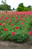 Ζωηρόχρωμος τομέας με το εποχιακό άνθος του μεγάλου ρόδινου peony flo τριαντάφυλλων Στοκ φωτογραφία με δικαίωμα ελεύθερης χρήσης