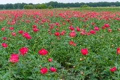 Ζωηρόχρωμος τομέας με το εποχιακό άνθος του μεγάλου ρόδινου peony flo τριαντάφυλλων Στοκ εικόνες με δικαίωμα ελεύθερης χρήσης