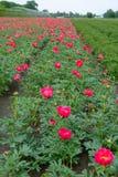 Ζωηρόχρωμος τομέας με το εποχιακό άνθος του μεγάλου ρόδινου peony flo τριαντάφυλλων Στοκ Φωτογραφίες
