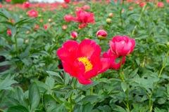Ζωηρόχρωμος τομέας με το εποχιακό άνθος του μεγάλου ρόδινου peony flo τριαντάφυλλων Στοκ φωτογραφίες με δικαίωμα ελεύθερης χρήσης