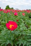 Ζωηρόχρωμος τομέας με το εποχιακό άνθος του μεγάλου ρόδινου peony flo τριαντάφυλλων Στοκ Εικόνα