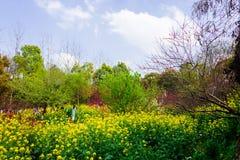 Ζωηρόχρωμος τομέας λουλουδιών βιασμών Στοκ Εικόνες