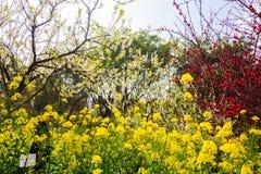 Ζωηρόχρωμος τομέας λουλουδιών βιασμών Στοκ φωτογραφία με δικαίωμα ελεύθερης χρήσης