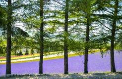 Ζωηρόχρωμος τομέας λουλουδιών πίσω από τα δέντρα Στοκ εικόνες με δικαίωμα ελεύθερης χρήσης