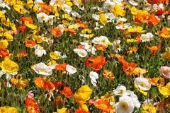 Ζωηρόχρωμος τομέας λουλουδιών παπαρουνών Στοκ εικόνες με δικαίωμα ελεύθερης χρήσης