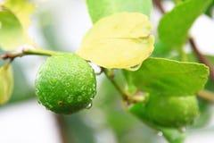 Ζωηρόχρωμος του λεμονιού στα δέντρα, ως υπόβαθρο φύσης Στοκ Φωτογραφία