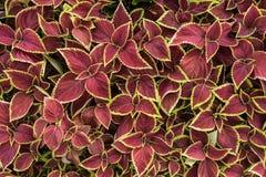 Ζωηρόχρωμος του χρωματισμένου nettle φύλλου Στοκ Φωτογραφίες