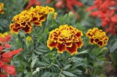 Ζωηρόχρωμος του marigolds λουλουδιού Στοκ Εικόνες