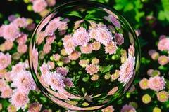 Ζωηρόχρωμος των λουλουδιών χρυσάνθεμων στην επίδραση σφαιρών γυαλιού με το θολωμένο υπόβαθρο λουλουδιών Στοκ εικόνα με δικαίωμα ελεύθερης χρήσης