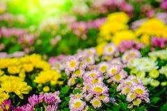 Ζωηρόχρωμος των λουλουδιών χρυσάνθεμων στον κήπο Εκλεκτική επίδραση εστίασης και φωτός του ήλιου Στοκ εικόνα με δικαίωμα ελεύθερης χρήσης