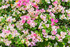 Ζωηρόχρωμος των λουλουδιών Bougainvillea στον κήπο Στοκ φωτογραφία με δικαίωμα ελεύθερης χρήσης