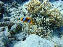 Ζωηρόχρωμος υποβρύχιος κόσμος της Ερυθράς Θάλασσας πλάνο Ερυθρών Θαλασσών anemone clownfish στοκ εικόνες
