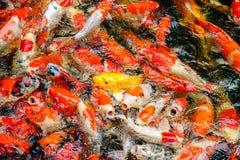 Ζωηρόχρωμος ψάρια ή κυπρίνος ή φανταχτερός κυπρίνος, φανταχτερός κυπρίνος που κολυμπούν στη λίμνη στο ζωολογικό κήπο στοκ φωτογραφία