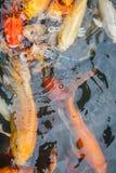 Ζωηρόχρωμος ψάρια ή ΚΥΠΡΙΝΟΣ ή φανταχτερός κυπρίνος, επίσης γνωστά ως φανταχτερός κυπρίνος, μαύρος κυπρίνος Στοκ Εικόνες