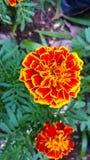 Ζωηρόχρωμος Marigolds του λουλουδιού Στοκ εικόνα με δικαίωμα ελεύθερης χρήσης